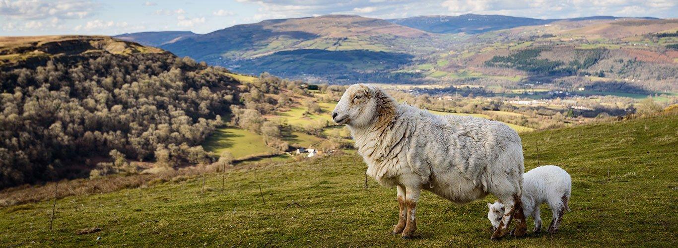 Wales Sheep